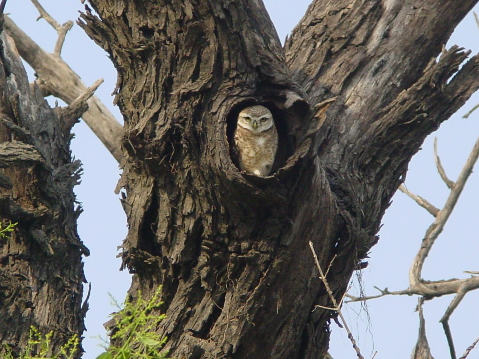 the owls plexus marcot
